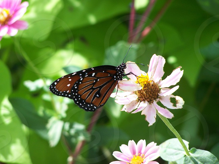 monarch butterfly perched on pink petaled flower at daytime photo