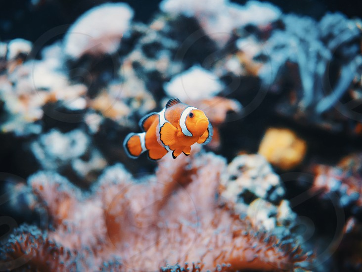 Sea anemone and clown fish in marine aquarium. On black background photo