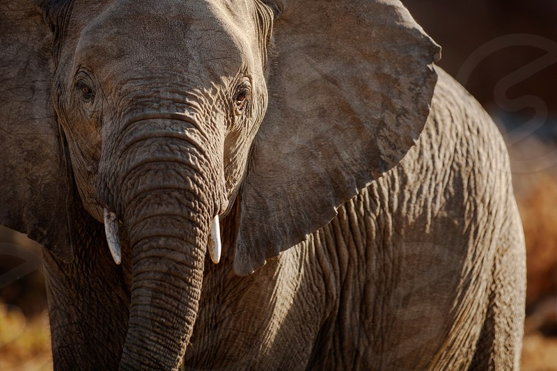 Elephant Savuti Botswana. photo