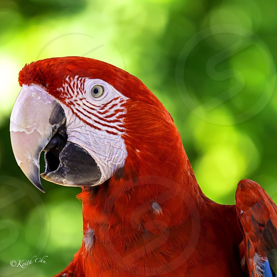 red macaw photo