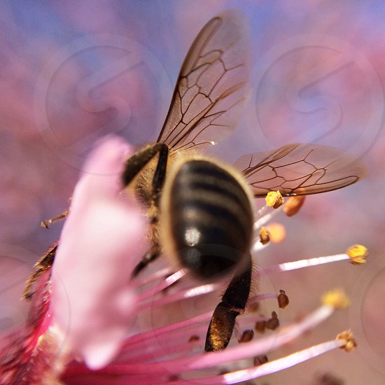 Wings of a bee on a pink almond tree flower photo
