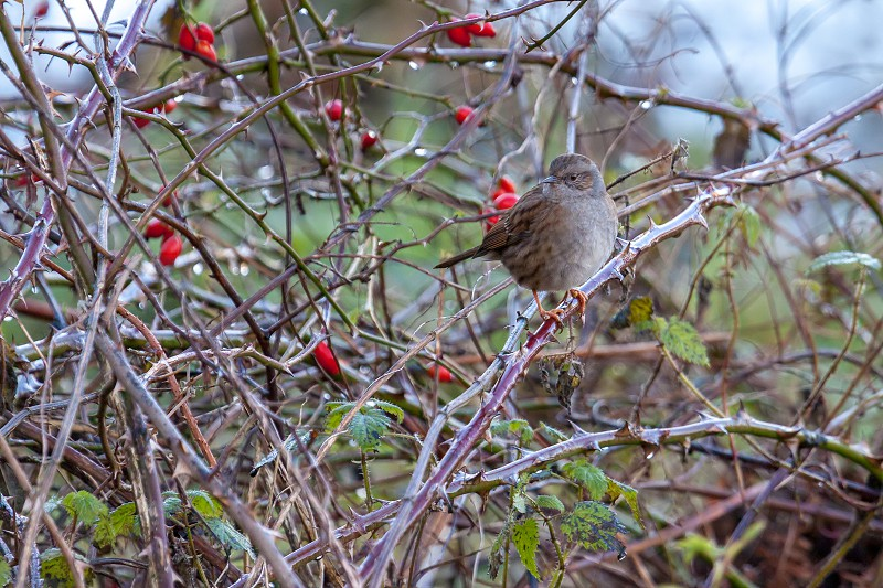 Hedge Accentor or Dunnock on a briar in winter photo