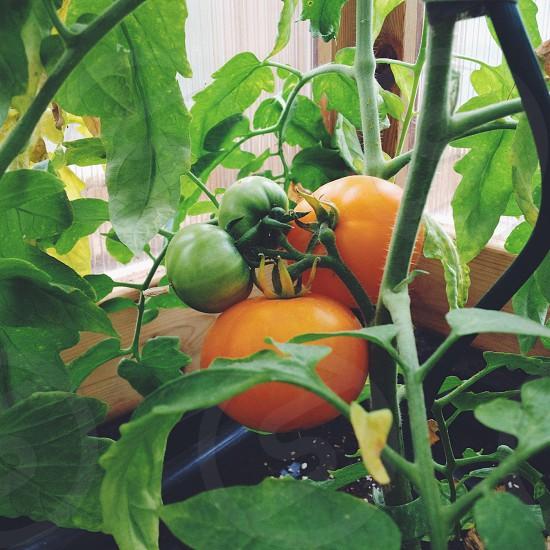 Lemon tomatoes. photo