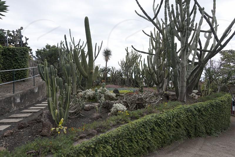 cactus plants in botanical garden Funcahl on the portuguese island Madeira photo