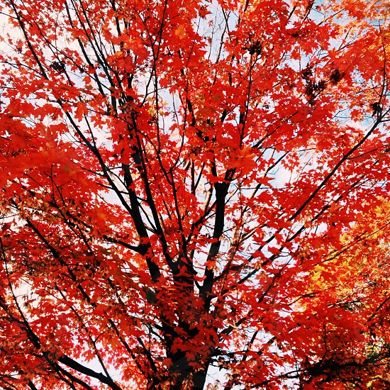 red autumn leaf tree photo