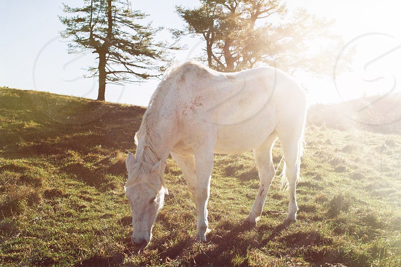 white horse grazing on mountain slope near tall trees at daytime photo
