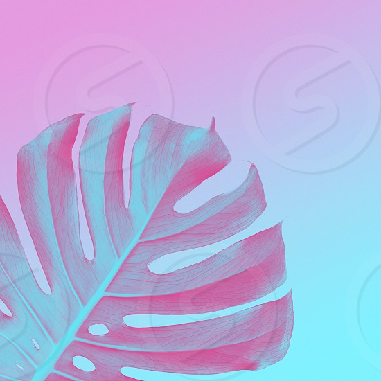 Tropical Jungle Leaves of monsters on a ultra violet pink and blue duotone background. Tropical frame neon style with place for text trendy design photo