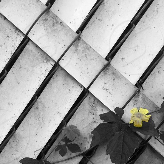 yellow flower on fence macro shot photo