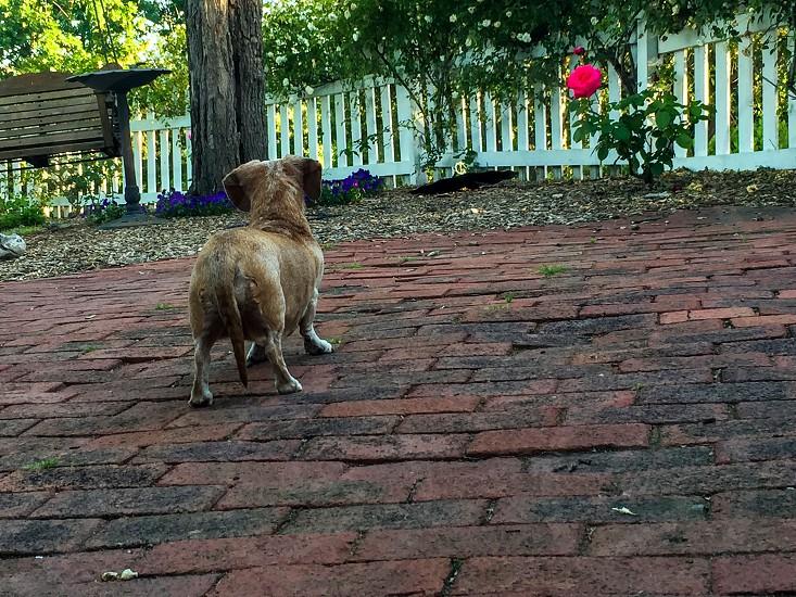 Backyard pup wiener dog brick grass trees  photo