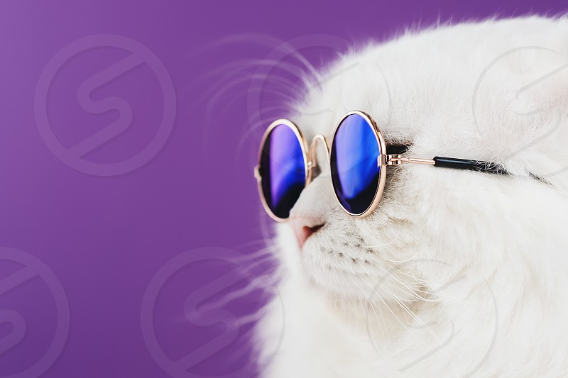 Close portrait of white furry cat in fashion sunglasses. Studio photo. Luxurious domestic kitty in glasses poses on violet background wall. photo