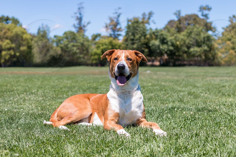 A mixed dog sitting in a park smiling.  photo