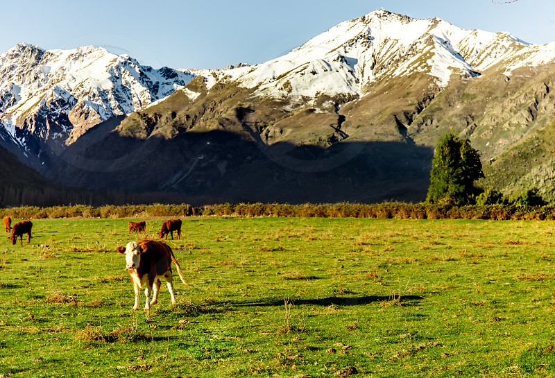 Argentine Chilean Patagonian landscape with freely grazing cows near a river. Group of cows in sunset photo