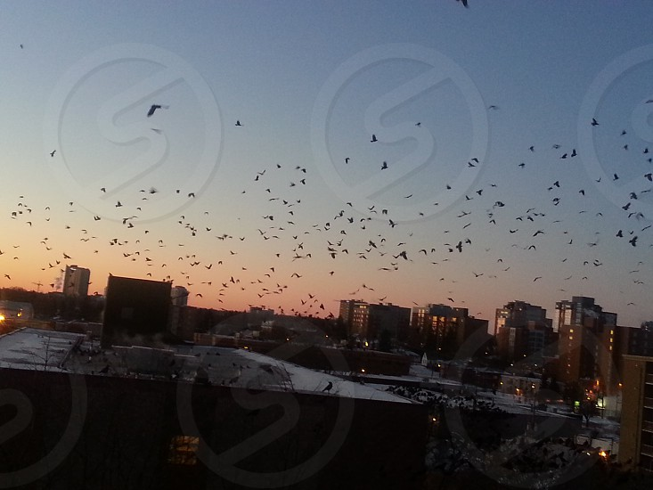 Murder of Crows over a sunrise photo