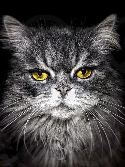 Cat yellow black and white  photo