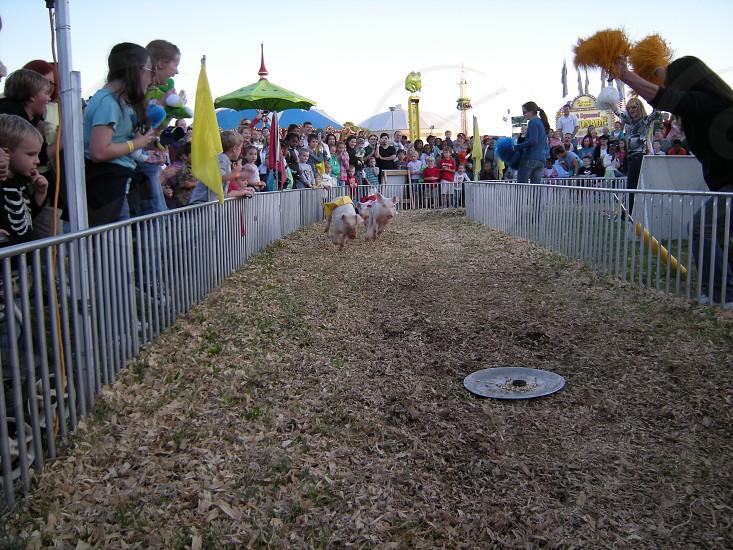 Pig races photo