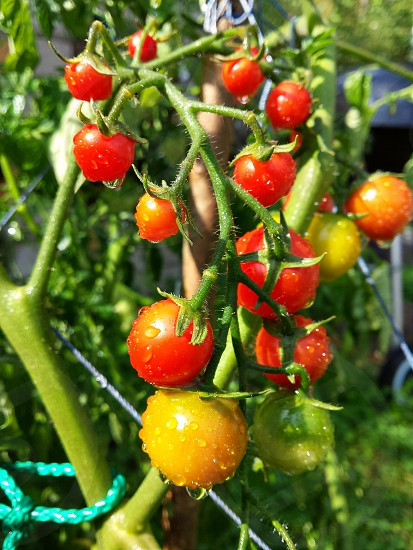 Small fresh tomatoes in the garden after the rain. photo