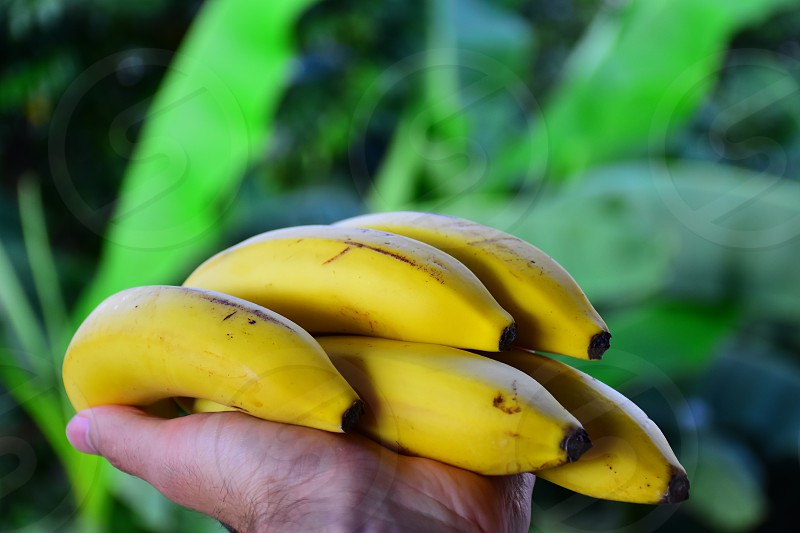 shallow depth of field photo of banana fruits in hand during daytime photo