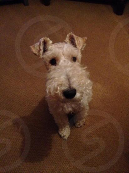 Wirefox terrier cute dog photo