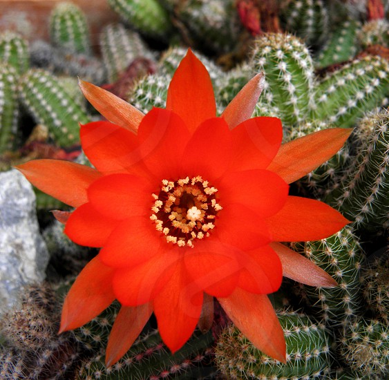 Red cactus flower or blossem. photo