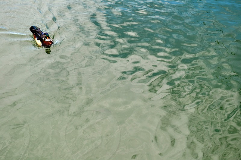 Duck swims on the water photo