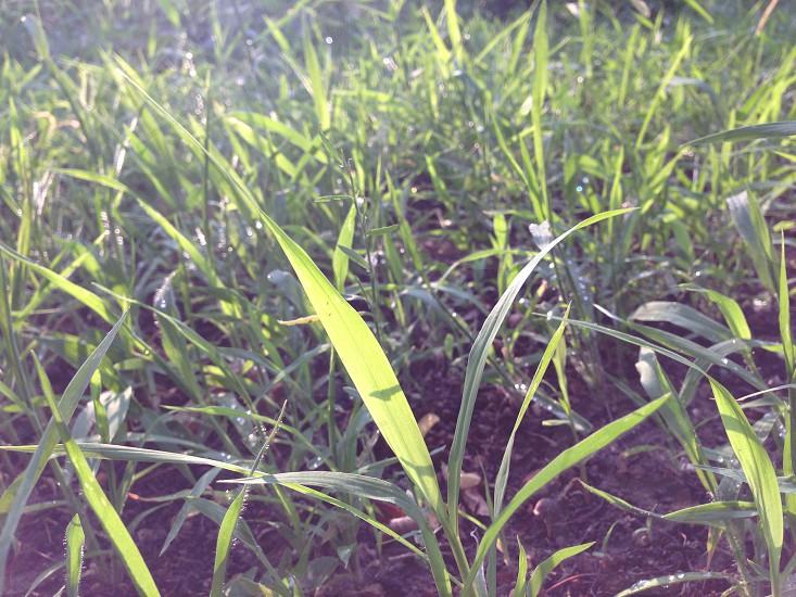 green green grass natural light sun sunset light grass fresh photo
