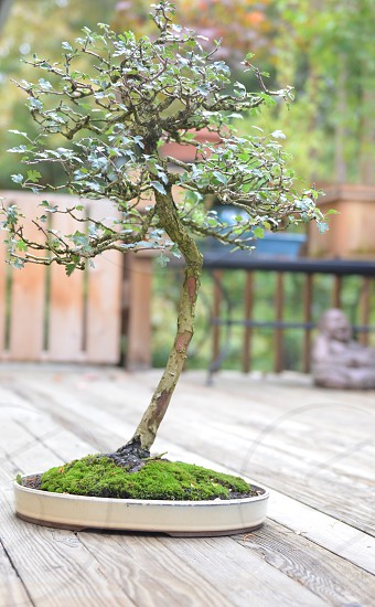 Bonsai bonsais trees  photo