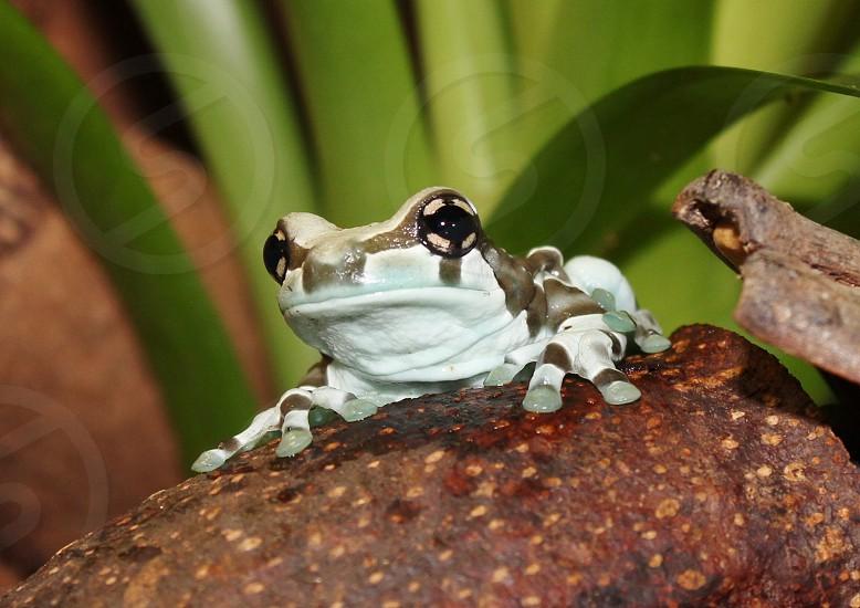 Milk Frog photo