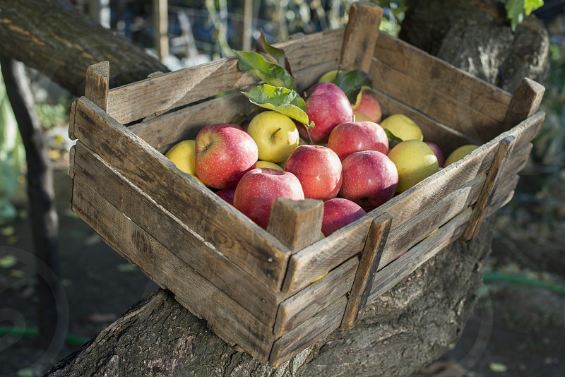 Apples in an old wooden crate on tree. Authentic image photo