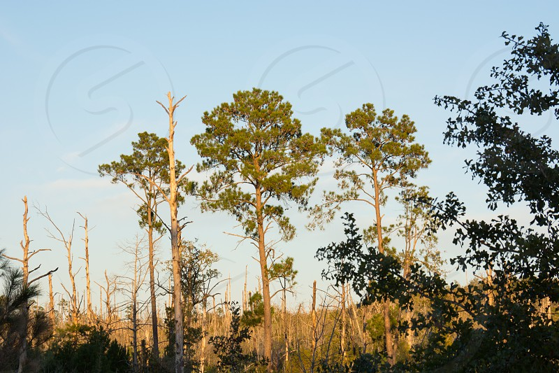 Bastrop State Park Texas trees burnt forest recover blue sky photo
