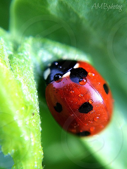 Ladybug with raindrops  photo