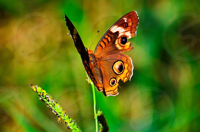 common buckeye butterfly perched on green leaf plant in closeup photography photo