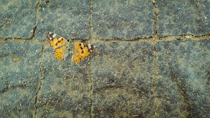 Dead orange butterfly on the pavement. photo