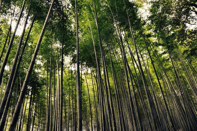 green bamboo photo