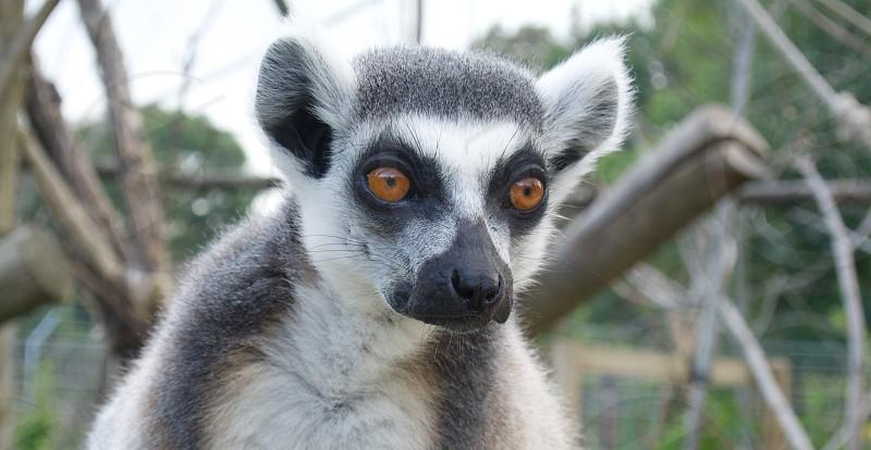 A bright eyed fluffy lemur animal photo