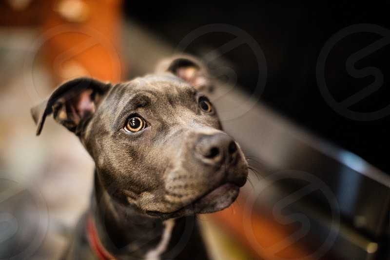 Pitbull puppy photo