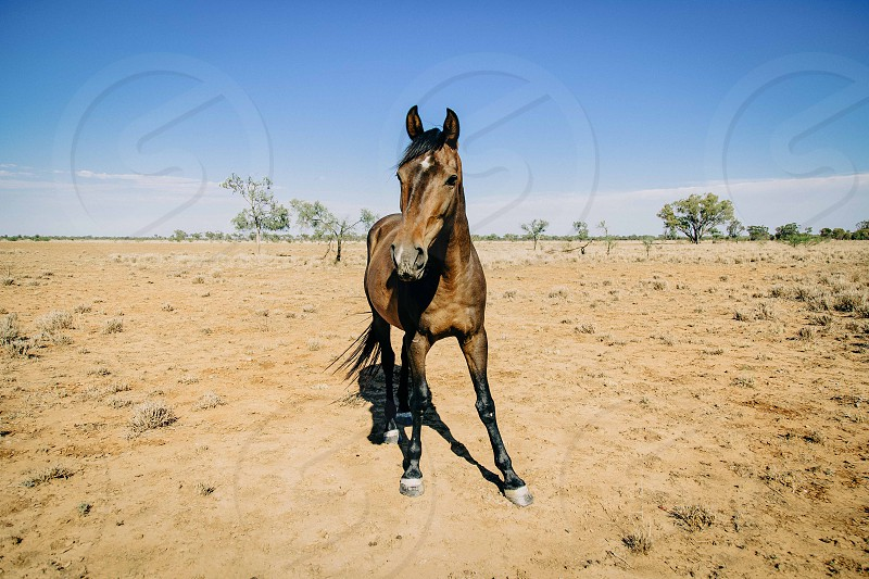 A tamed Australian Brumby  photo