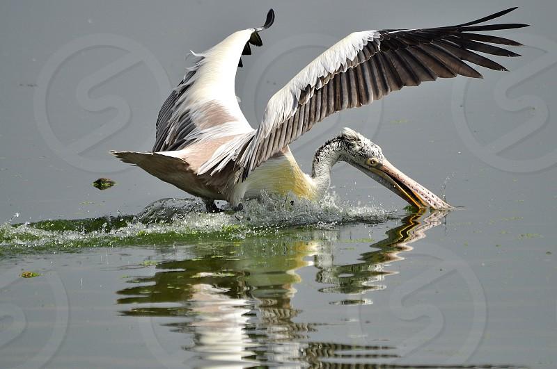 Diving Grey Pelican.  photo