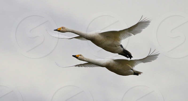 Whooper Swans in flight photo