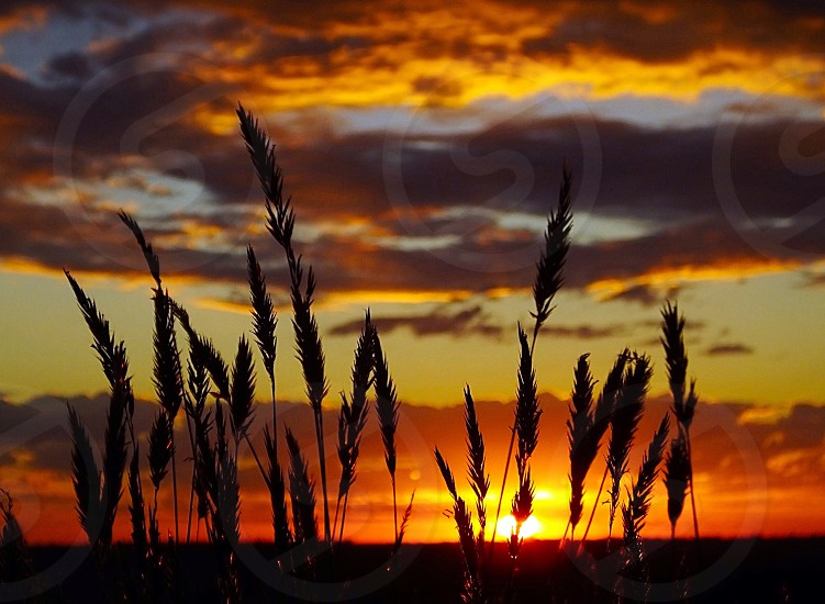 silhouette of wheat plant during sunset photo