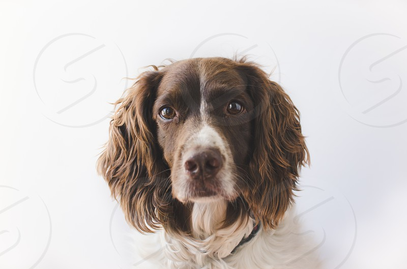 Springer Spaniel dog on light background looking into camera. photo