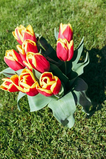 red and yellow tulip bouquet in green grass photo