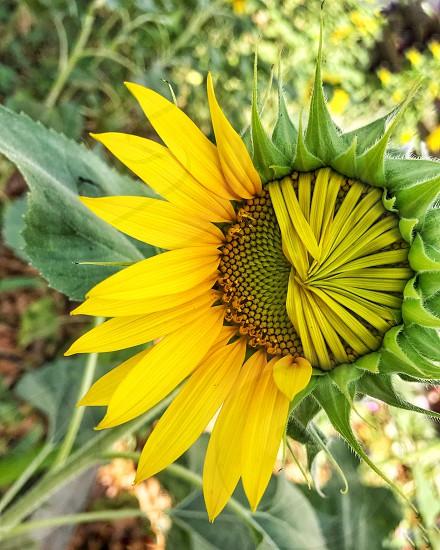 A half opened sunflower  photo