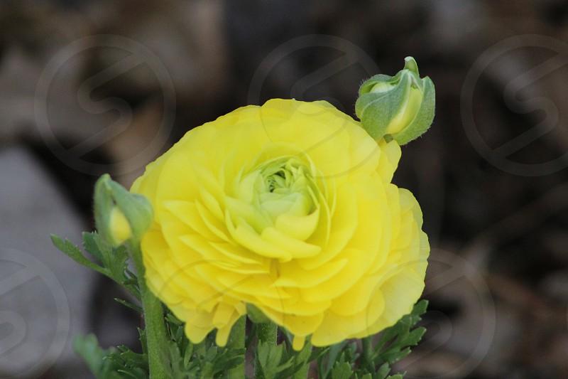 full bloomed yellow petaled flower photo