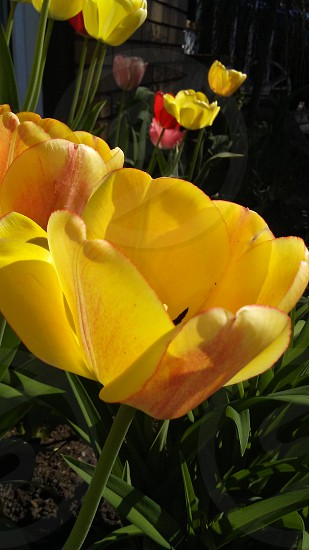 Tulipes #flowers #tulipes #colors #yellow #nature #spring photo