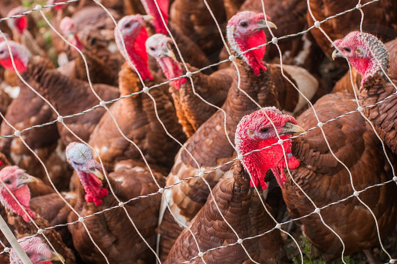 brown feather turkeys behind a wire fence photo