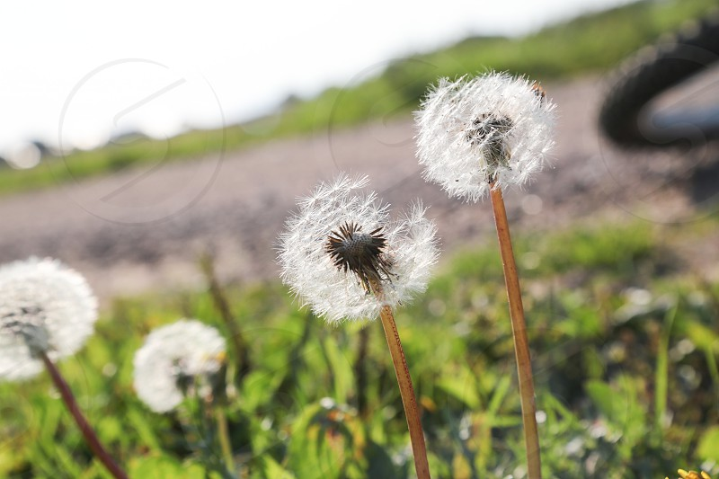 Autumn flower flowers fade fading flying road dandelion dandelions field nature seed seeds transparent soft transparency  photo