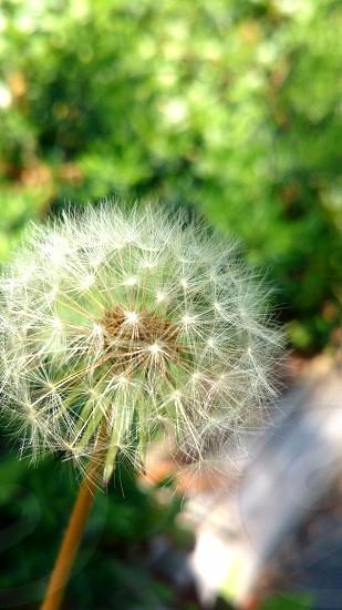 たんぽぽの綿毛(Fluff of dandelion) photo