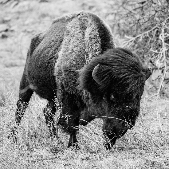 bison running on field near leafless tree in grayscale photography photo