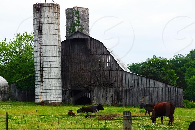 herd of cattle outside barn photo