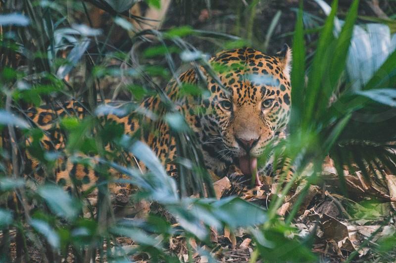 Jaguar animal nature beauty cat rare creature love bigcat CostaRica photo